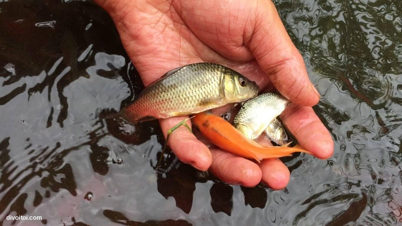 Kỹ thuật nuôi ghép cá nước ngọt trong ao